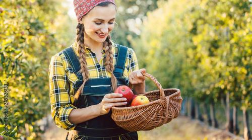 Leinwandbild Motiv Obstbäuerin erntet Apfel in einen Korb