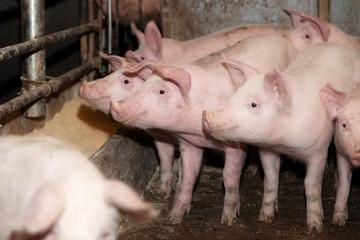 Schweine im Stall Füttern