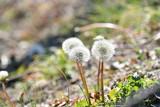 Fototapeta Dmuchawce - たんぽぽの綿毛 © tomo