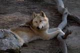 El gran lobo del ártico