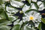 Weiße Seerosen auf Garten Teich - 245419177