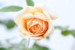 close-up of an orange rose;