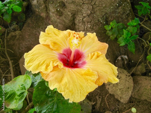 Pretty yellow hibiscus flower at the base of a tree