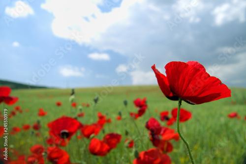 Poppy field - 245510979