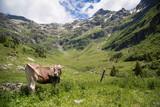 Happy cows in the Alps