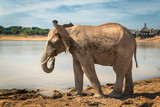 African elephant standing by the lake in game reserve in South Africa