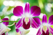 Close-up Pink orchid Dendrobium in the gaden.