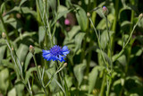 Blue Cornflower in the garden