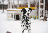 Spotted Dalmatian dog in the snow in the winter yard. Table in the background
