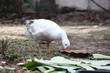 Goose eatting food in garden