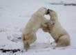 Polar bears on the tundra, Churchill, Canada
