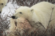 Polar bear eating, after the hunt, Canada