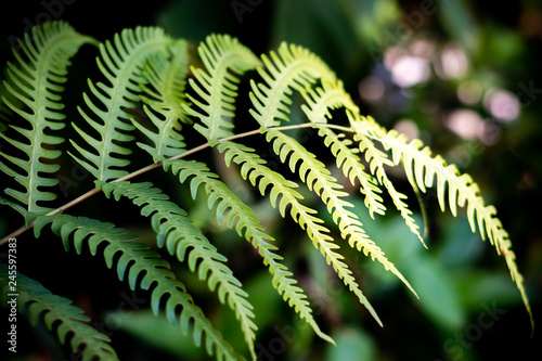 Beautiful ferns green leaves the natural fern in the forest and natural background in sunlight.