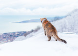Fototapeta Koty - Curious explorer cat walking in winter outdoor. © Poprotskiy Alexey