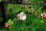 Apfelblüte, Blüte am Apfelbaum im öffentlichen Obstgut Baden-Baden Lichtental