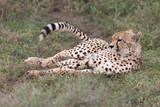 Cheetah in Serengeti National Reserve, Tanzania, Africa