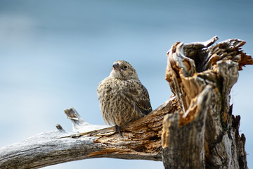 Close up of a little House Finch sitting on driftwood, waiting for food.