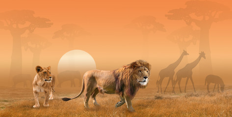 Two lions hunting in savanna in the morning sun, collage