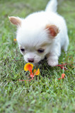 Cute chihuahua puppy smell the flower