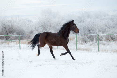 horse in full growth in winter