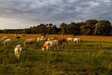 eine Herde von Kühen und Bullen (Charolais) auf einer Weide