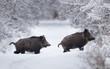 Leinwandbild Motiv Wild boars walking on snow