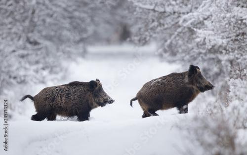 Leinwanddruck Bild Wild boars walking on snow