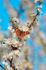 Butterfly on a branch of sakura blossoms