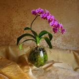 pink orchid on a beige background