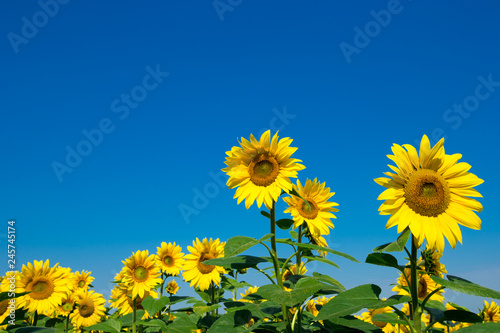 Foto Murales Sunflower field with cloudy blue sky