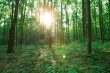 Fototapeta Natura - Forest trees. nature green wood sunlight backgrounds © Pakhnyushchyy
