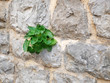 Natural plant on the stone wall background