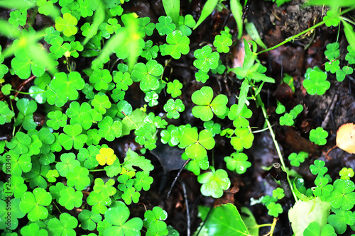 Background from plant clover four leaf. Irish traditional symbol. St.Patrick 's Day. - 245798340