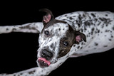 White and Black Spotted Dog with Tongue Sticking Out