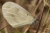 Butterfly Whitefish pea, Latin Leptidea sinapis