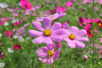 colorful genus zinnia or cosmos flower in the garden