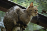 European wildcat (Felis silvestris silvestris).