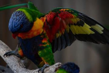 rainbow lorikeet battle fighting open wings