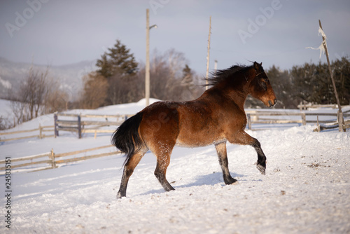 Beautiful Bay Horse Galloping in the Snow in Quebec Canada