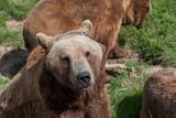 Pouting Brown Bear