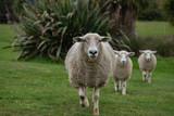 sheep in field - 245866761