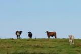 Brahman cows on a ridge