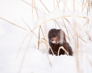 mink in the snow with grass around