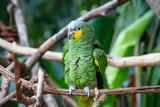 Green Amazon Parrot. Amazona aestiva xanthopterus
