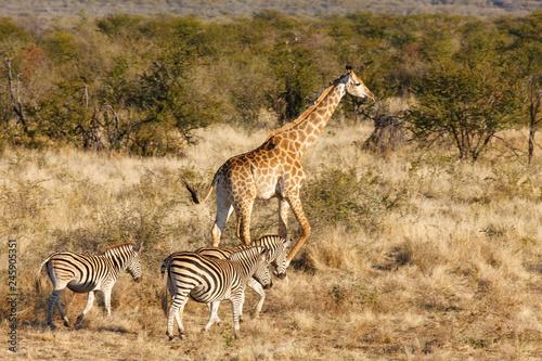 South African giraffe (Giraffa camelopardalis giraffa) and Plains zebra (Equus quagga, prev. Equus burchellii), aka common zebra, Burchell's zebra or quagga. North West Province. South Africa
