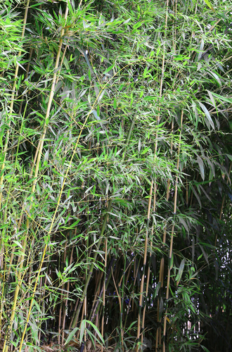 large bamboo stalks with leaves