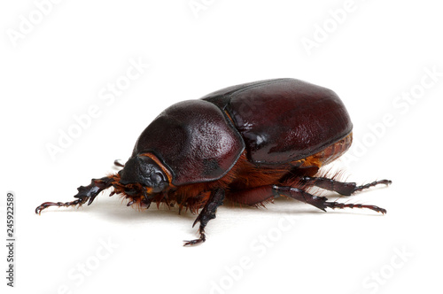 Foto Murales Beetle isolated on white