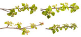 set branch of an apple tree with blossoming buds and leaves. on a white background.  isolate