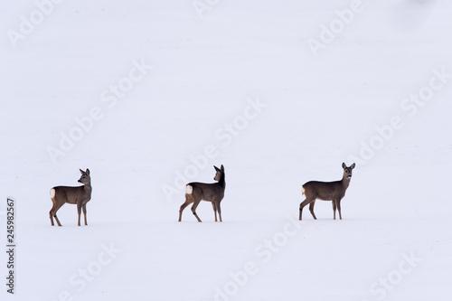 Trzy sarny na śniegu zima dzikie zwierzęta