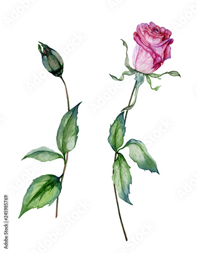 Pink rose flower on a twig. Beautiful floral set (flower and closed bud on stems with green leaves). Isolated on white background. © katiko2016